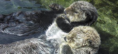 Did you know that sea otters hold hands when they sleep to keep from drifting apart